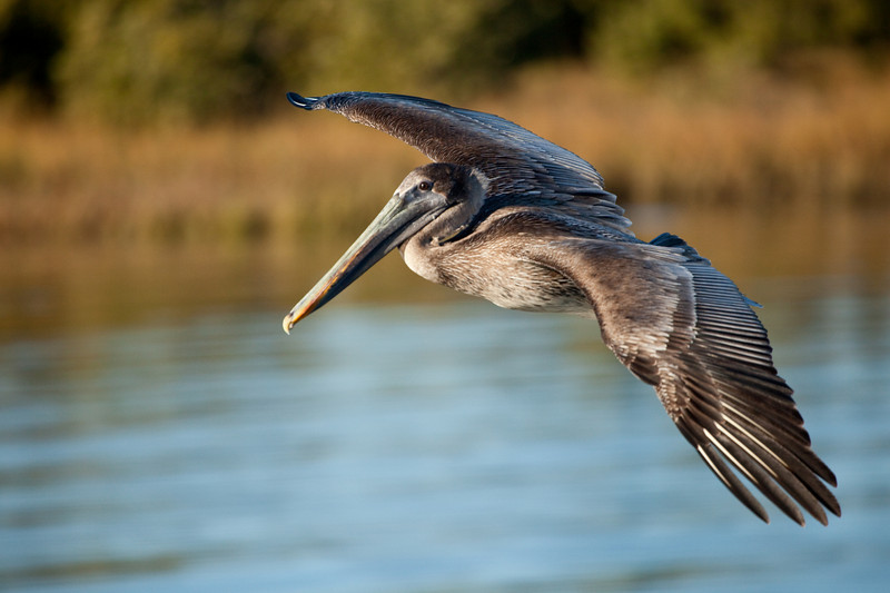 Female brown pelican, Cedar Key