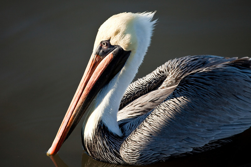 Male brown pelican, Cedar Key