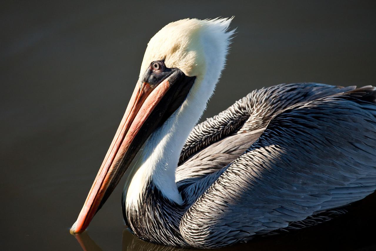 Male brown pelican, Cedar Key