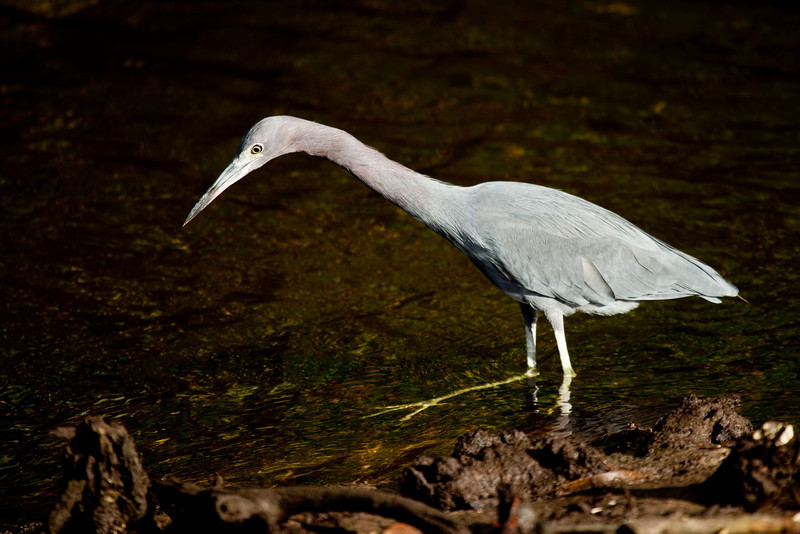 Little blue heron, Ding Darling WLR, Sanibel Island