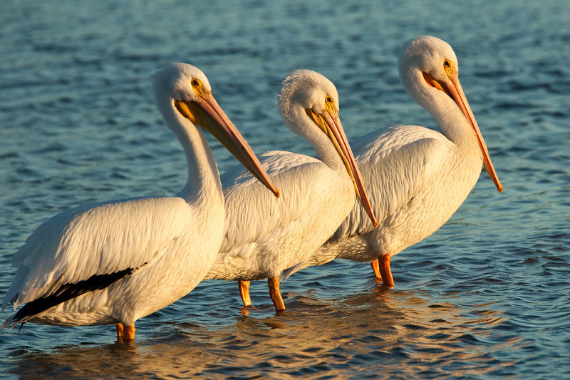 White pelican, Cedar Key