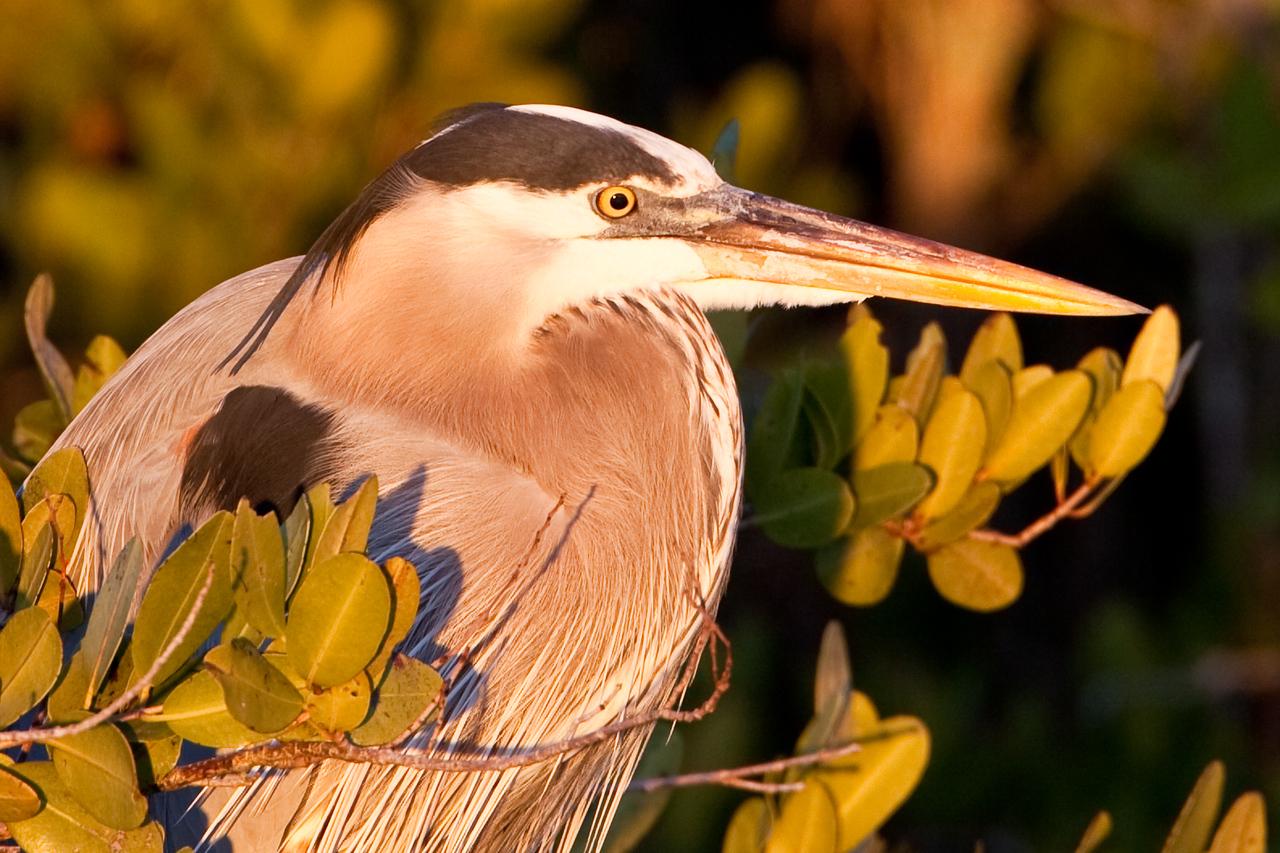 Great blue heron, Merritt Island WLR