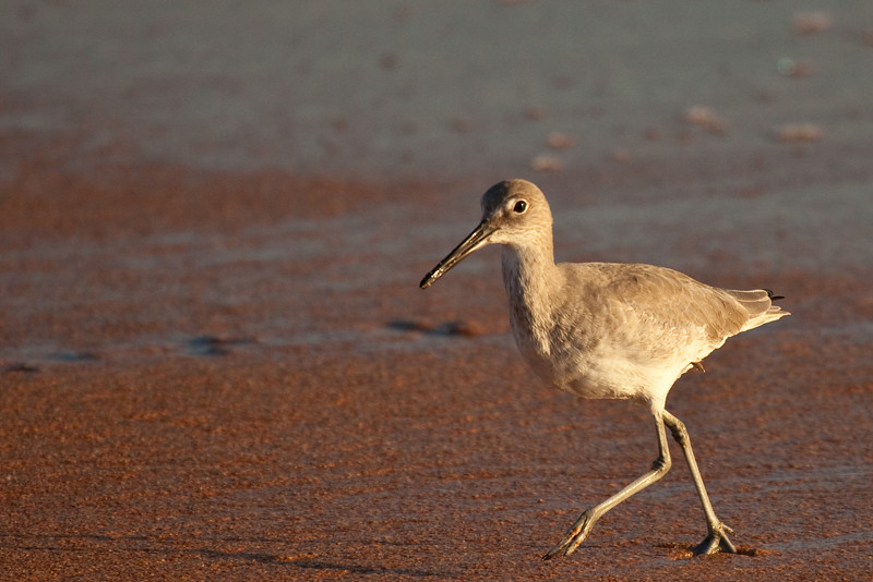 Willet, Ormond Beach