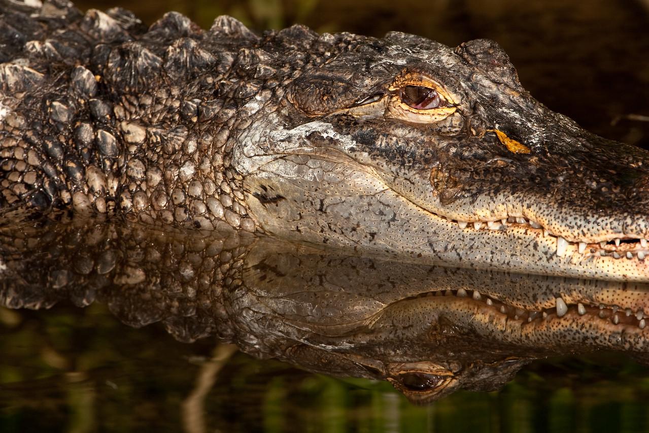Alligator, Alligator Farm, St. Augustine