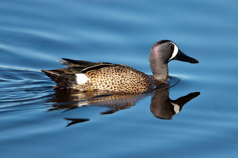 Blue-winged teal, Merritt Island WLR
