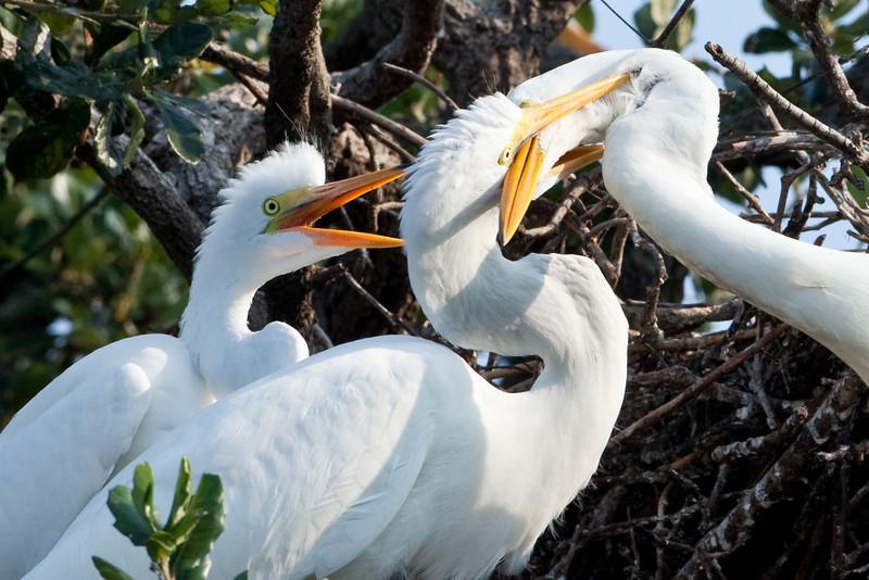 Juvenile great egrets, Alligator Farm, St. Augustine