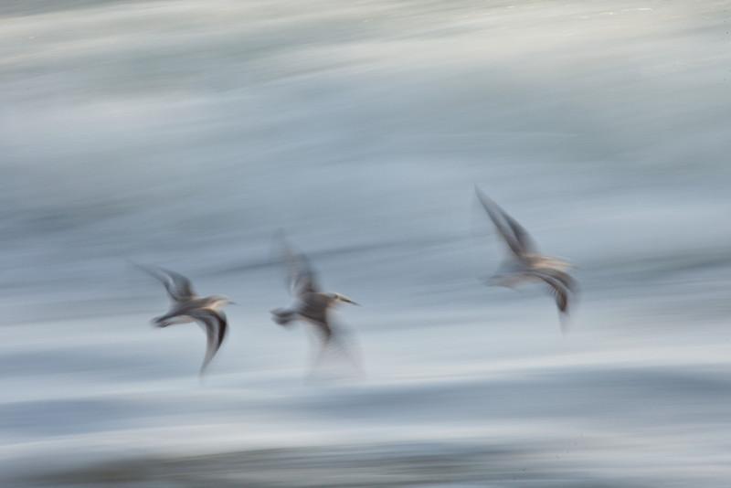 Plovers, Ormond Beach