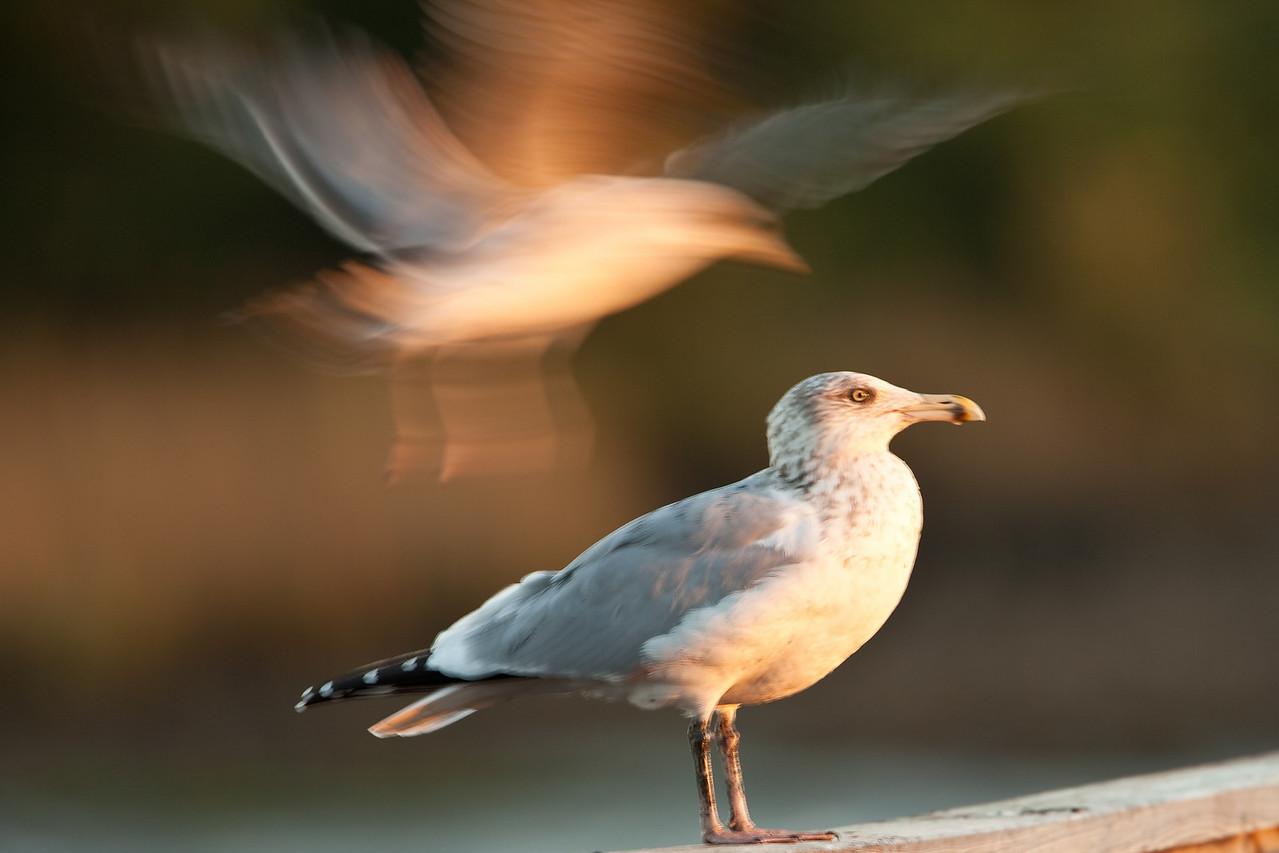 Ring-billed gull, Cedar Key