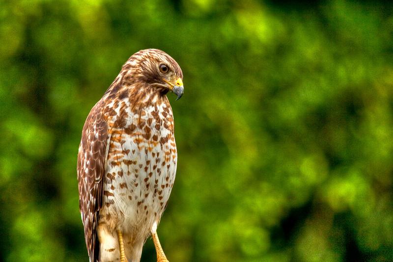 Red-shouldered hawk, Ft. Myers