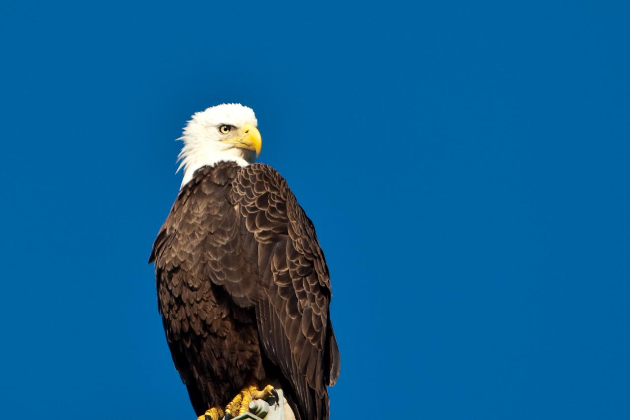 Bald eagle, Tosohatchee State Preserve