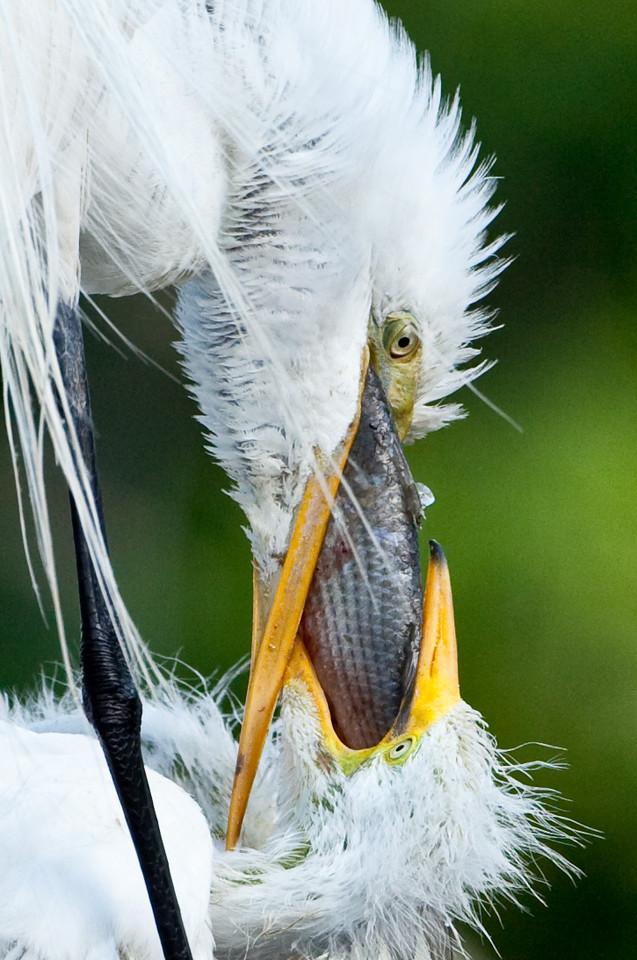 Great egrets, Alligator Farm, St. Augustine
