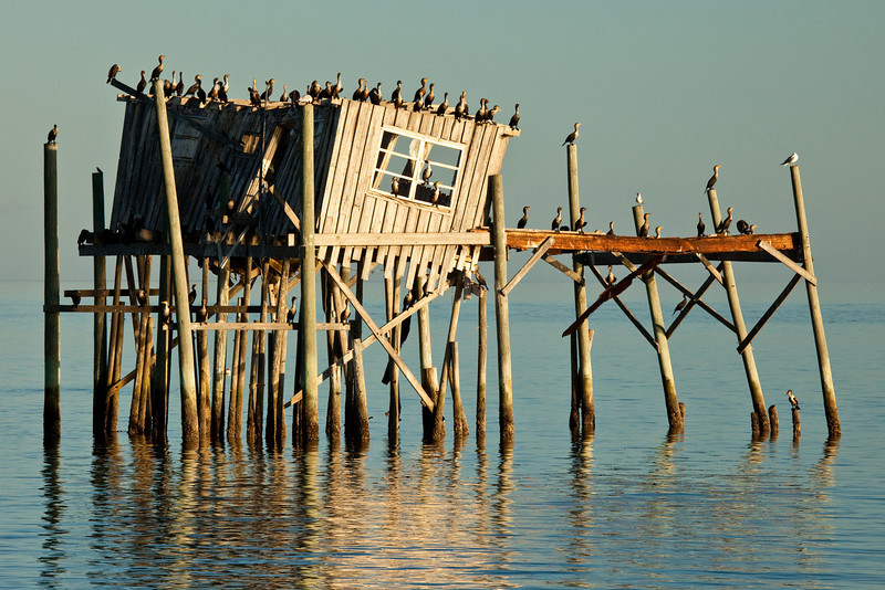 Cormorants, Cedar Key