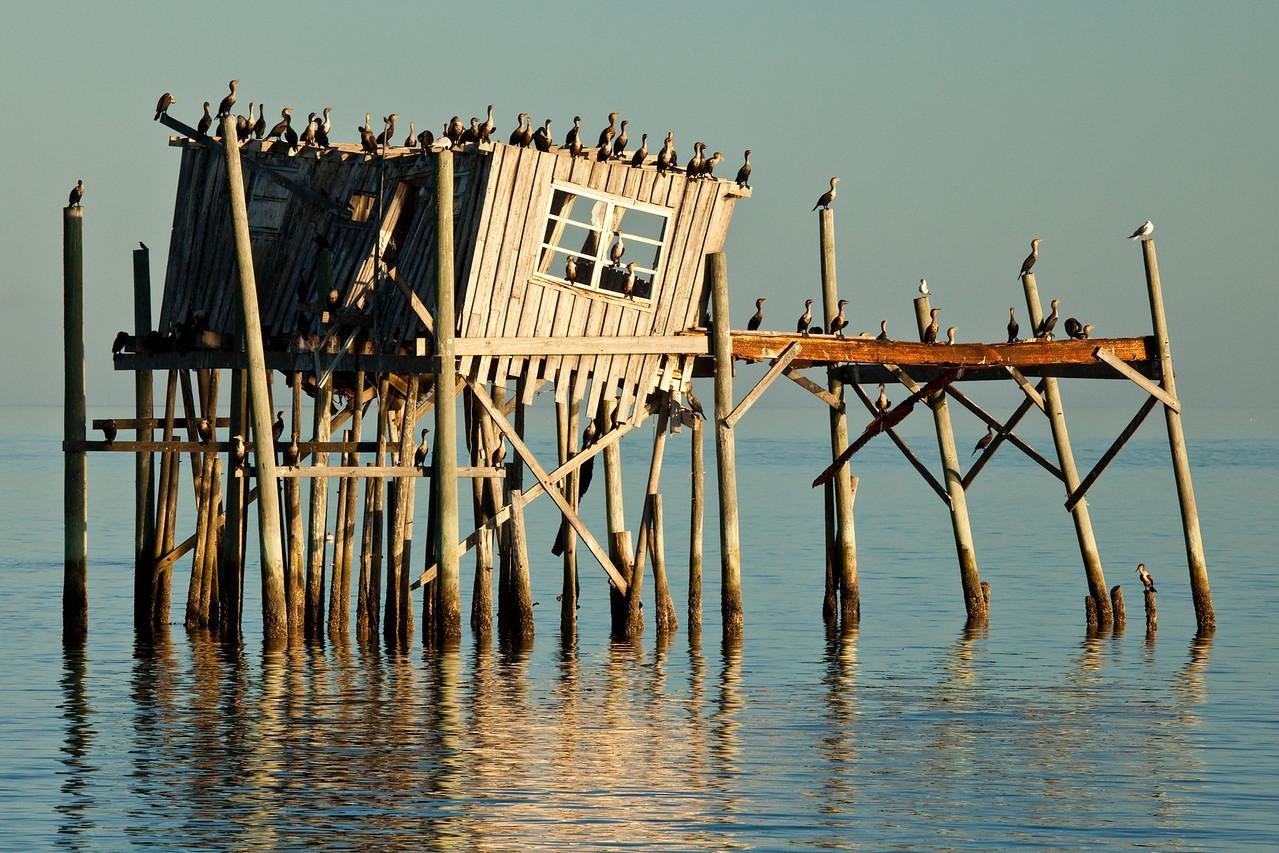 Cormorants, Cedar Key