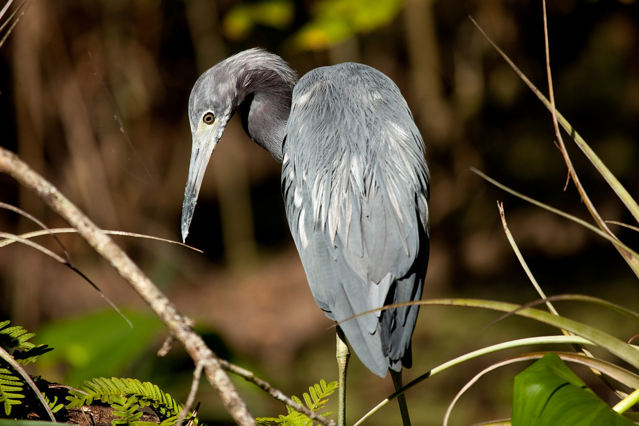Little blue heron, Corkscrew Swamp Sanctuary, Ft. Myers