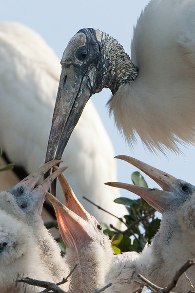Wood storks, Alligator Farm, St. Augustine