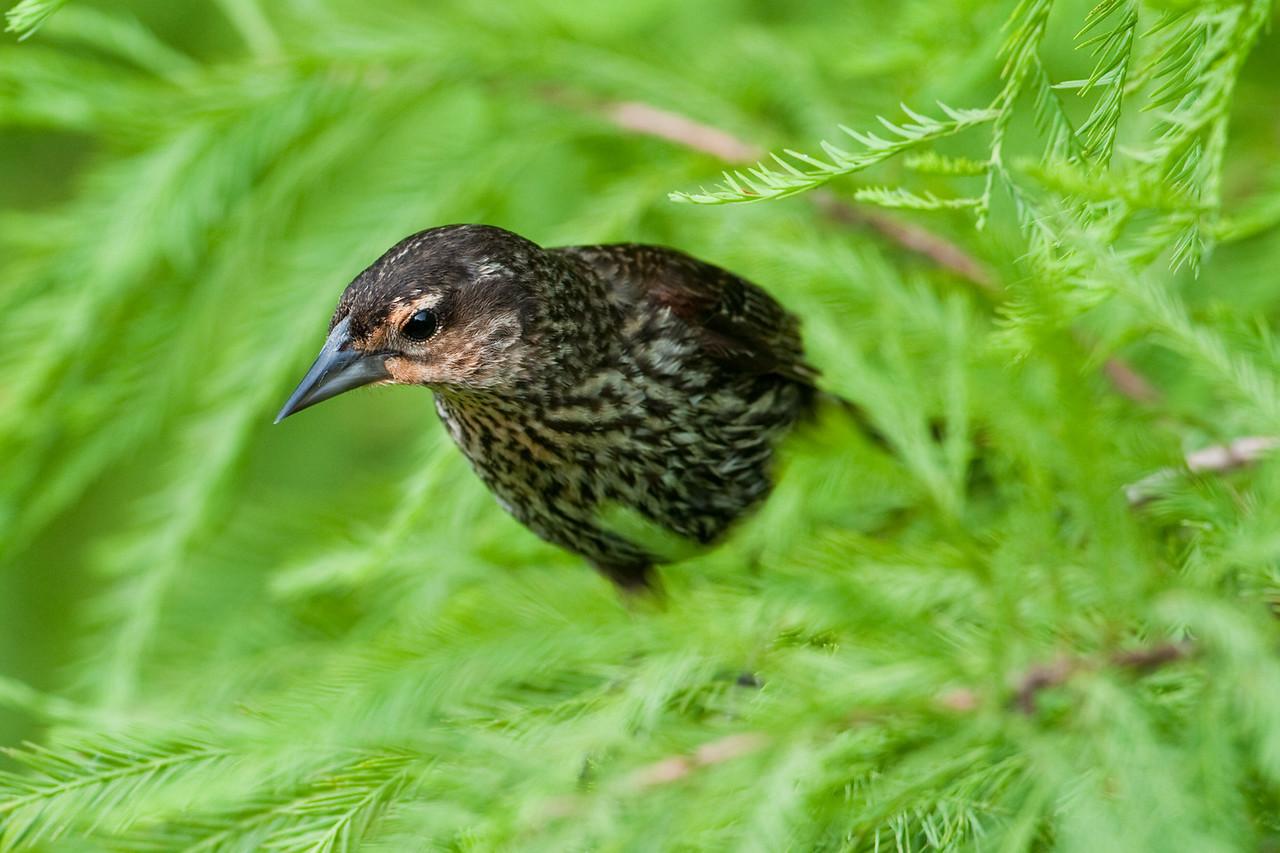 Female red-winged black bird, Palm Coast