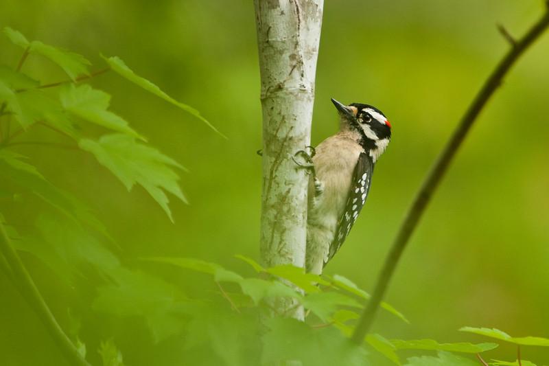 Hairy woodpecker, St. Augustine