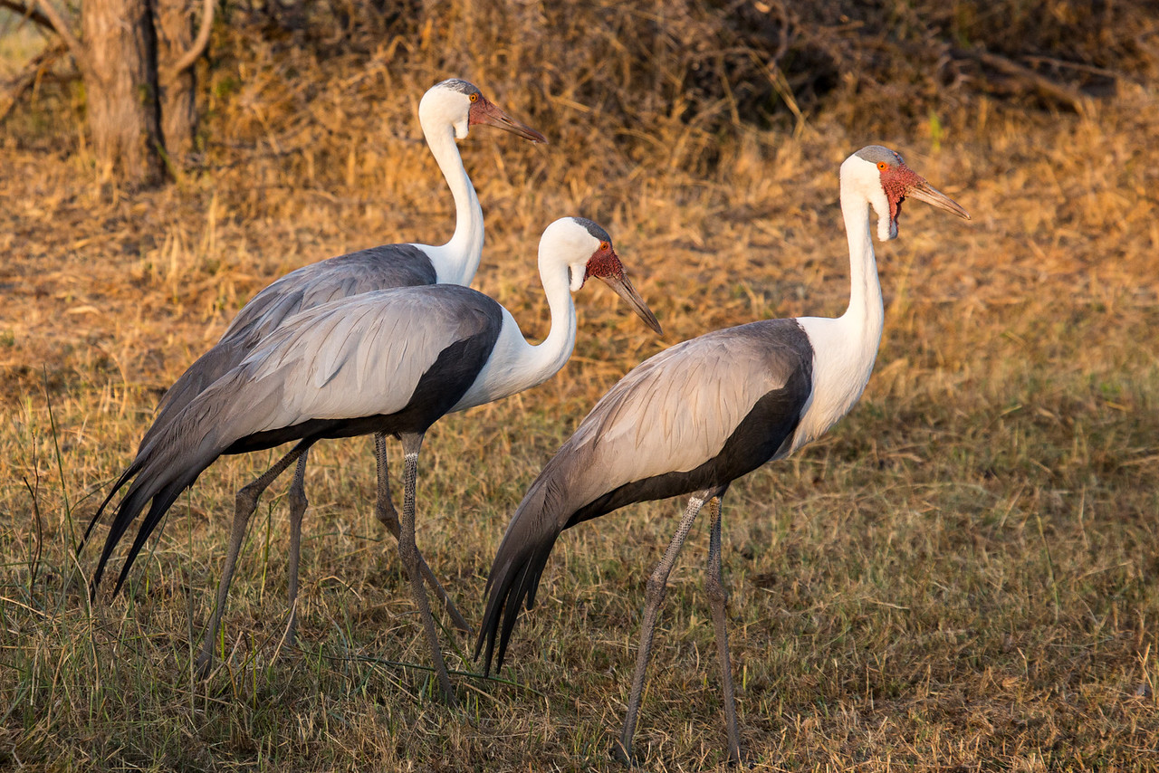 Almost always in small groups these wattled cranes live in shallow wetlands and nearby grasslands. Only about 8000 exist in the world.
