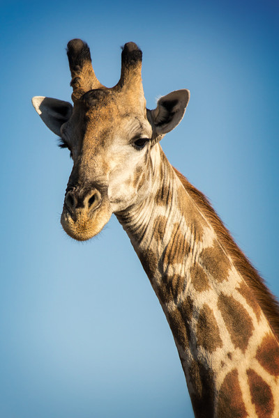 Giraffes fascinate me, especially watching these 16-20 feet tall creatures walk or gallop.