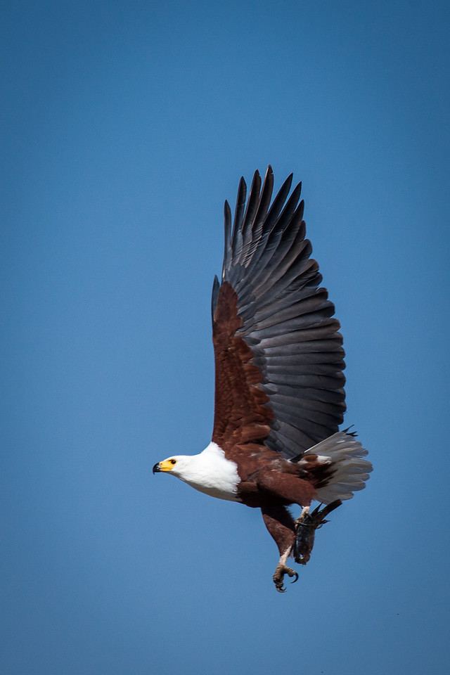 With a fish in its talon, this African fish eagle is true to its name.