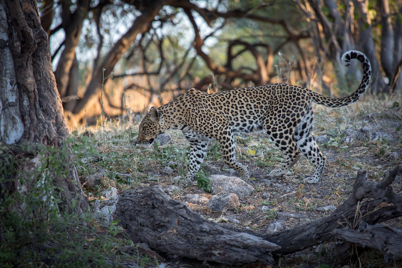 We were fortunate to see several leopards during our visits to the four game reserves. This fine specimen had the audacity to completely ignore us.