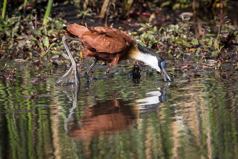 The African Jacana is a common bird of the wetlands having the ability to walk on floating vegetation with the very large claw-like feet.