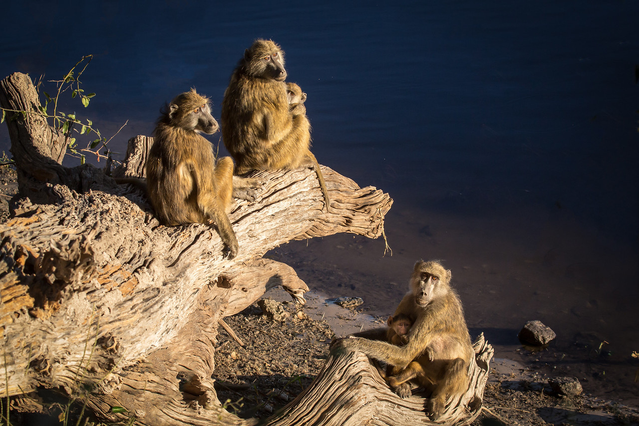I found this troop of baboons by the river's edge nurturing their young. As they heard me approach they gave me a look of interest. Click.