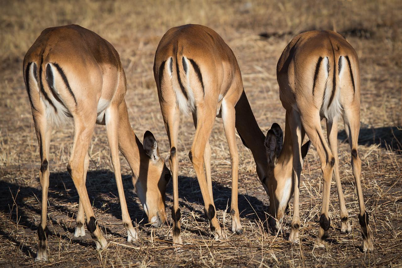 Impalas grazing.