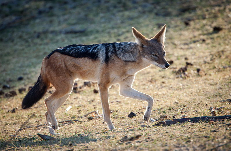 A black-backed jackal.