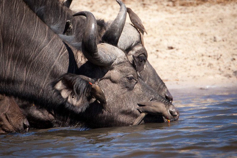 Oxpeckers, the small birds on these cape buffalo, live symbiotically, each providing a benefit to the other. I found it humorous to see the oxpecker drink at the same time the cape buffalo quenched his thirst.
