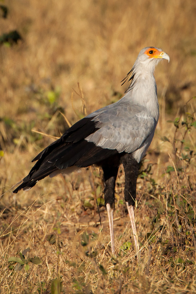 This stately looking secretary bird is described as having an eagle-like body on crane-like legs.