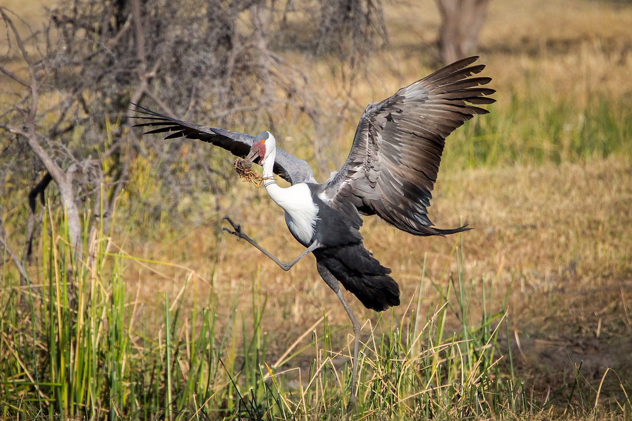 A wattled crane foraging on elephant dung by breaking it apart in search of undigested insects.