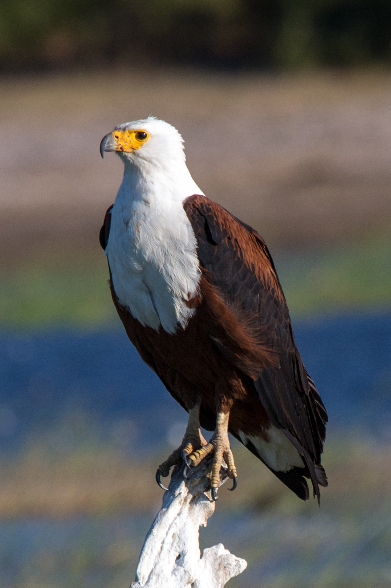 African fish eagles were prominent throughout our trip. They look so majestic and imposing perched high on their lofts.