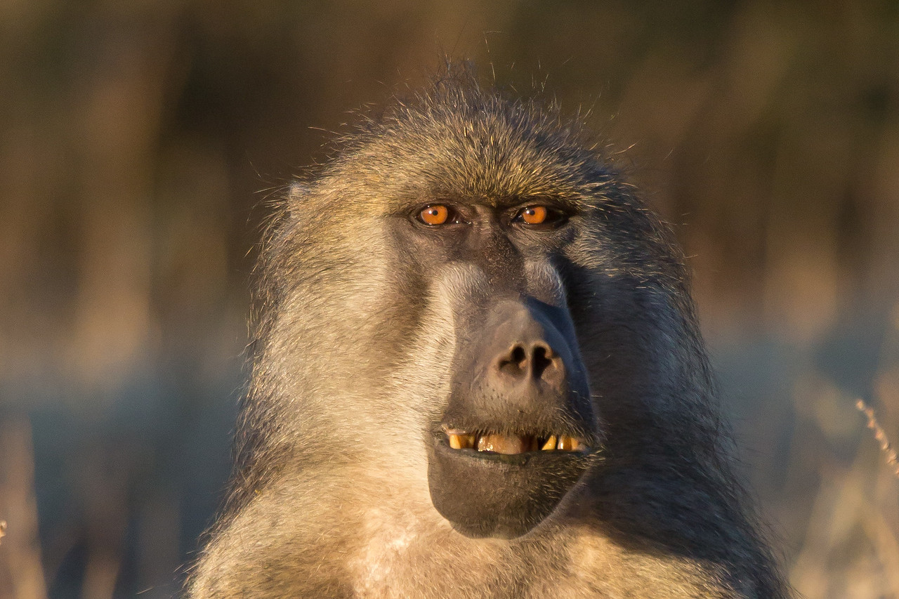 No, you're not looking in the mirror. This is a baboon who had his eye on me.