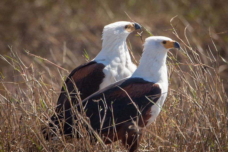 An exquisite pair of fish eagles. The female is larger than the male, having a wingspan of nearly 8 feet compared to 6 feet for the male.