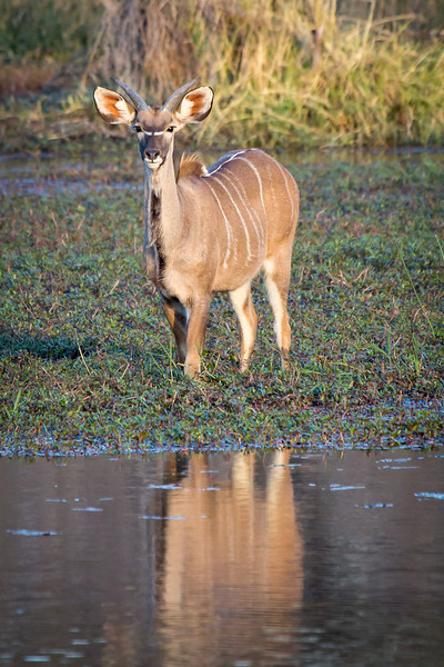A young male kudu casting a big reflection.