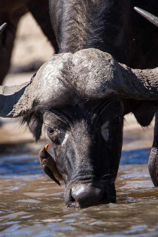 Cape buffalo and oxpeckers see eye-to-eye so to speak. The oxpecker removes ticks and other bugs from the buffalo, and the buffalo provides protection to the oxpecker.