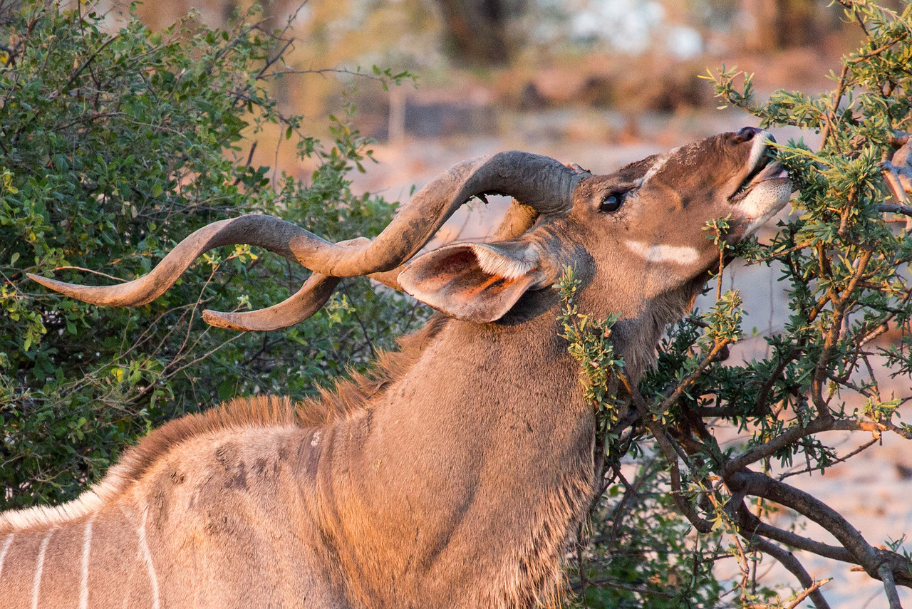 Here is a male kudu enjoying a breakfast snack. They are browsers, eating leaves and wild fruits.