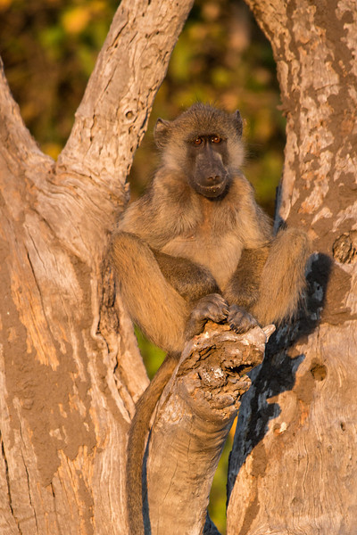 Perched in the notch of a tree, this baboon looks not to have a care in the world.
