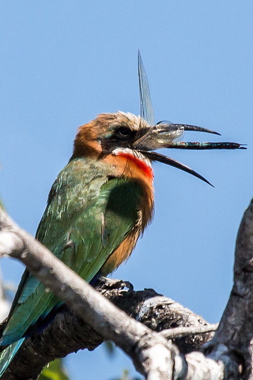 Gotcha! This bee eater swooped down on the water and snatched up this dragon fly. Then it played with it for a while before devouring it.