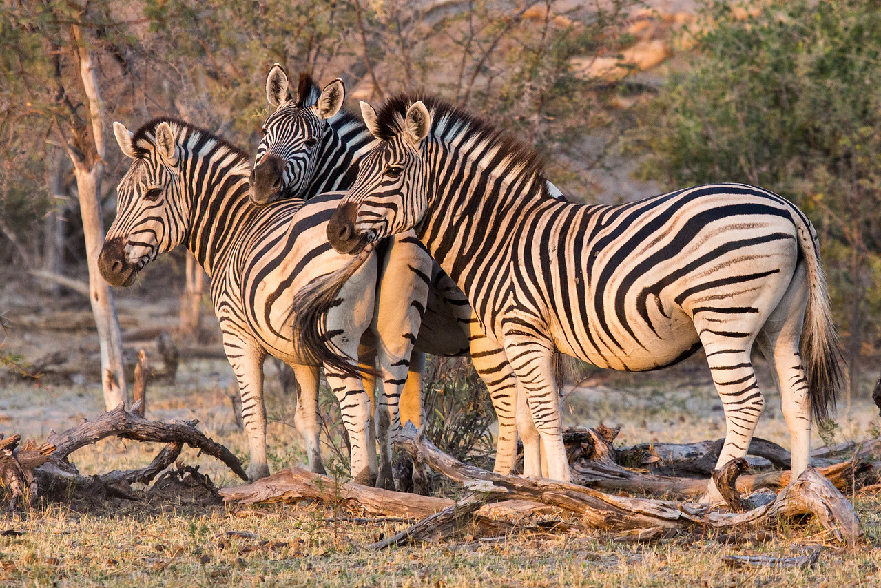 Cozy zebras early one morning at Makgadikgadi Pans National Park.