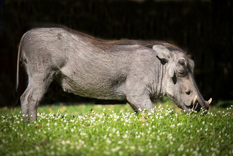 At our lodge in Chobe National Park wild warthogs roamed the grounds. This one was mowing the grass.
