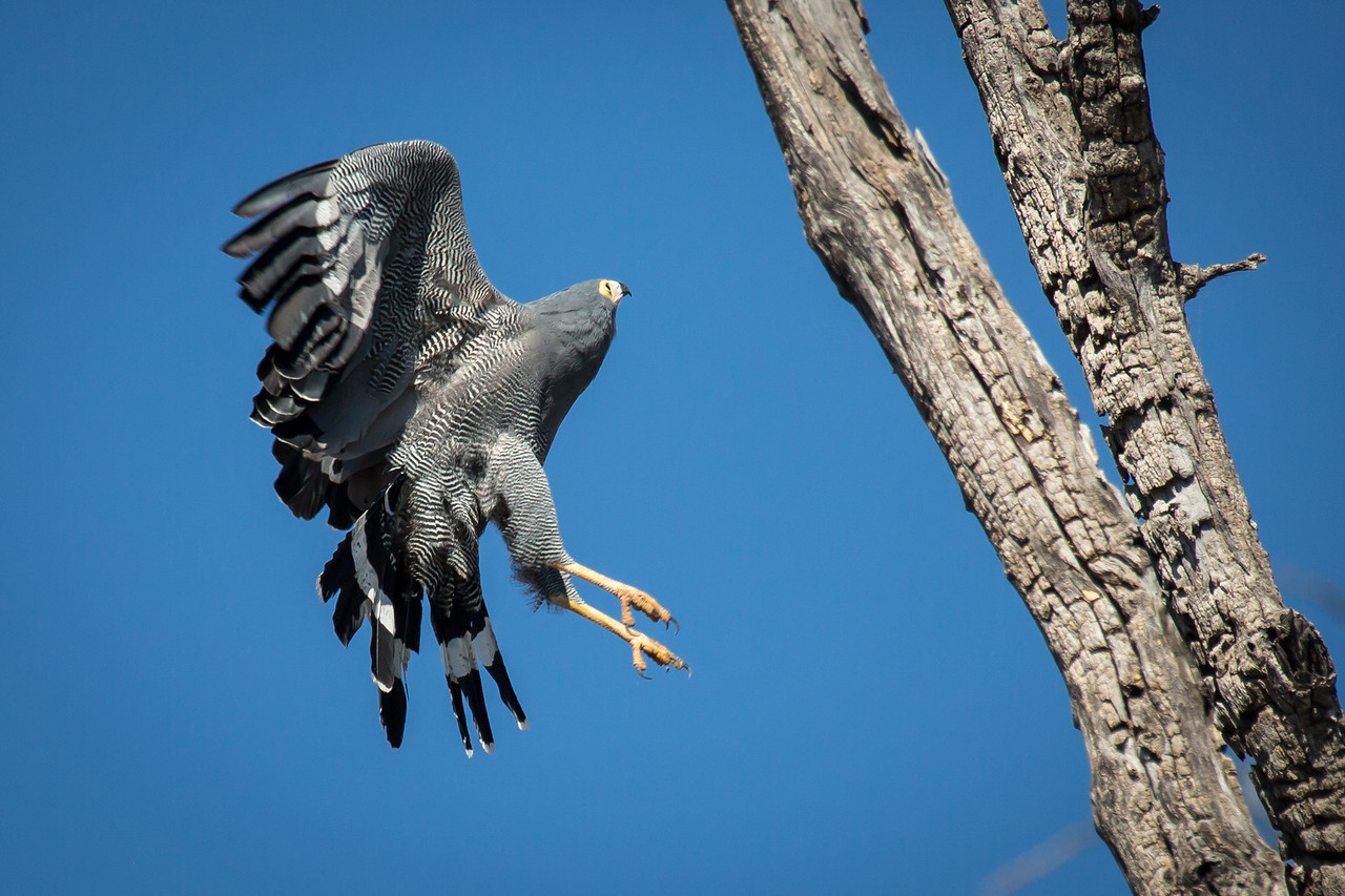 This African harrier-hawk was coming in for a landing on his perch high in a dead tree. Aren't the feathers on the wings and legs beautiful.