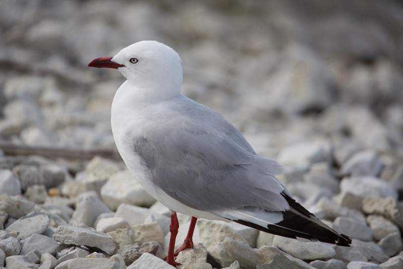 Red-billed seagull.