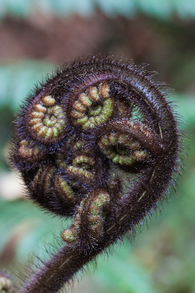 As we traveled the South Island we saw lots of flora including this growing fern that the Maori's named koru.  This new unfurling fern frond symbolizes new life, growth, strength, and peace.