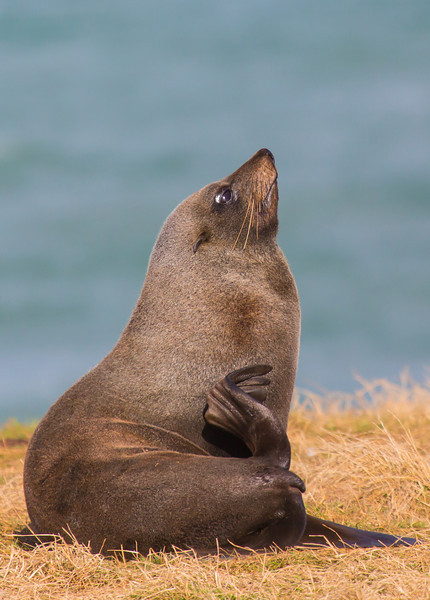 A fur seal posing for us outside of Moeraki, a small fishing village on the southeast coast of the South Island.