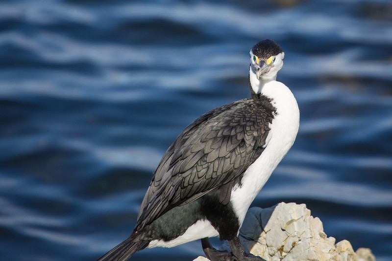 Blue-eyed shag checking me out.