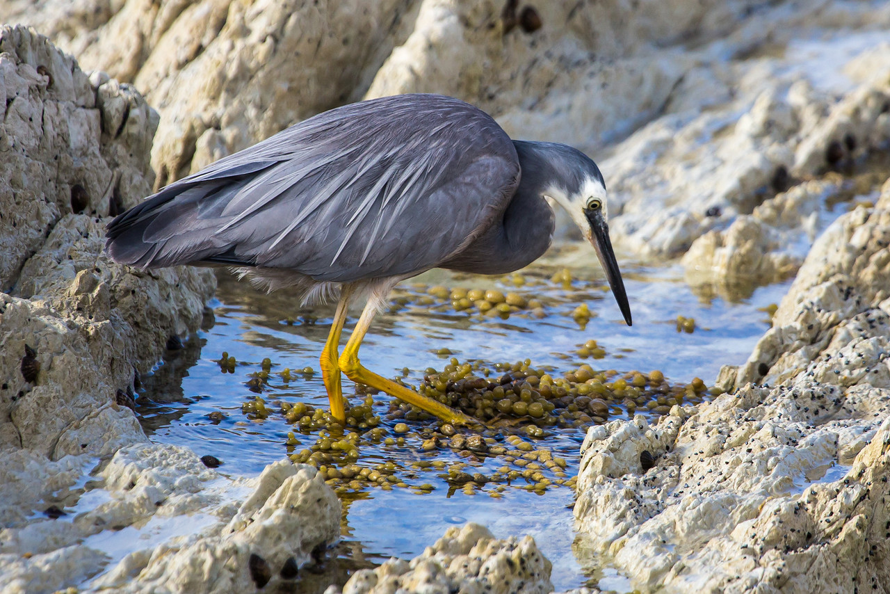 White-faced heron searching for food.