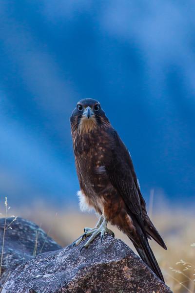 A Karearea, the New Zealand falcon.
