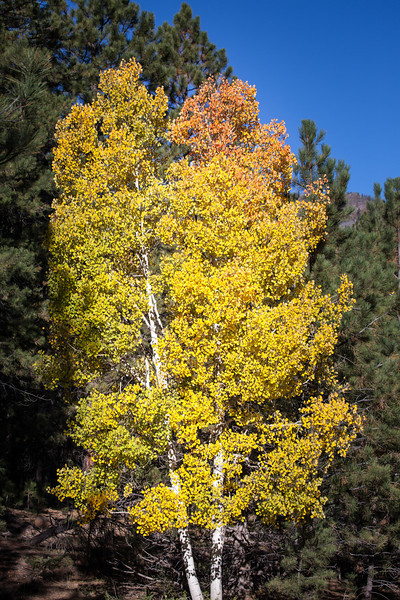 A bright colored Aspen agains the dark evergreens and blue sky.